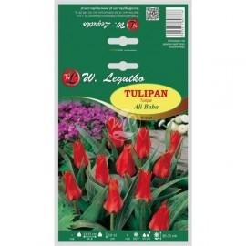 Tulipan Ali Baba 5szt