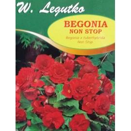 Begonia bulwiasta Non Stop czerwona 1szt