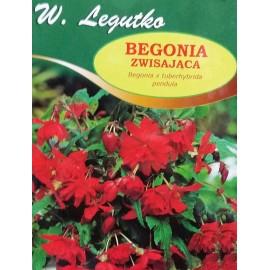 Begonia zwisająca czerwona 1szt