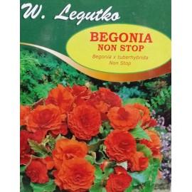 Begonia bulwiasta Non Stop pomarańczowa 1szt