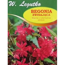 Begonia zwisająca różowa 1szt