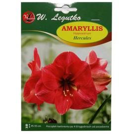 Amaryllis Herkules 1szt