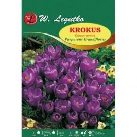 Krokus Purpureus Grandiflorus 1szt
