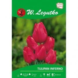 Tulipan wielokwiatowy Inferno 1szt