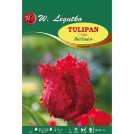 Tulipan Barbados 1szt